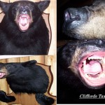Bear taxidermy, New York Bear Taxidermist