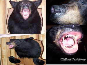 NY Black Bear Taxidermist