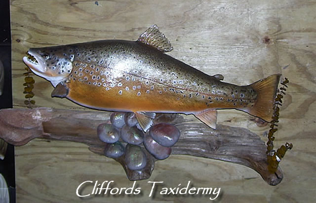 Lake Ontario Fish Taxidermy