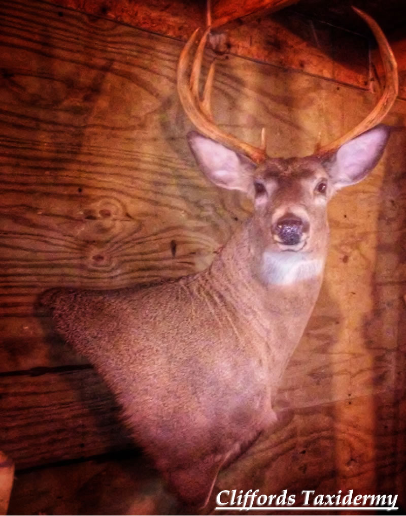 Central NY Deer Taxidermy