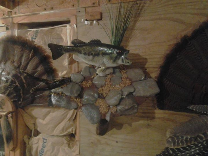 Largemouth Bass Taxidermy