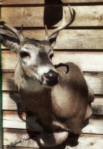 Whitetail Pedestal Deer Mount