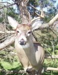 One Antler Buck