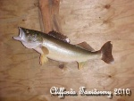 Taxidermy Walleye Mount
