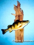 Jumbo Perch Taxidermy