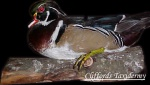 Wood Duck Taxidermy