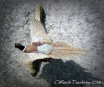 Pheasant 2016