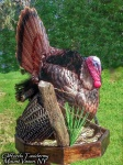 Full Strut Turkey Taxidermy