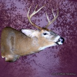 Taxidermy Full Sneak Whitetail Deer