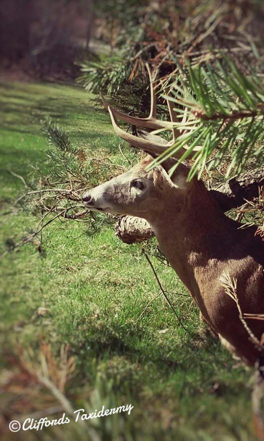 Deer Taxidermy In New York