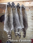 Tanned Coon Pelts