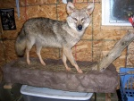 Full Body Coyote Taxidermy