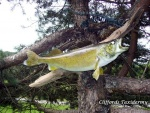 Walleye Taxidermy