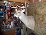 Reproduction West Winfield Buck