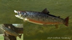 Stream Brown Trout