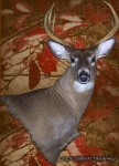 Taxidermy Wall Ped Whitetail Deer